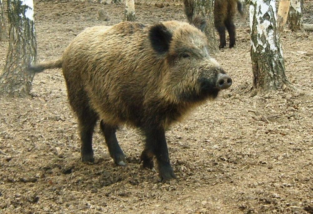 Вниманию охотников: добыча копытных животных в области пойдет по новой системе квотирования