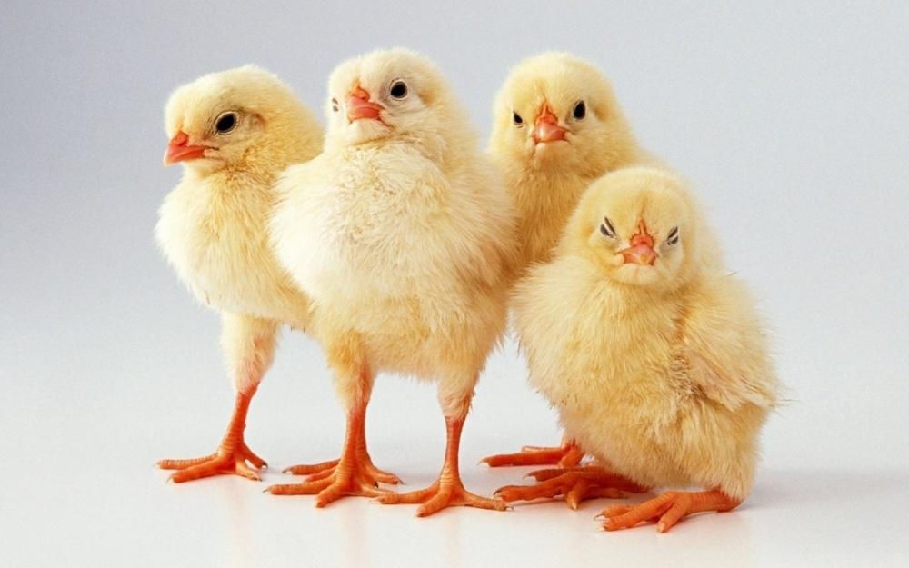 Цыплят по осени считают: из-за угрозы птичьего гриппа в регион запретили ввоз молодняка