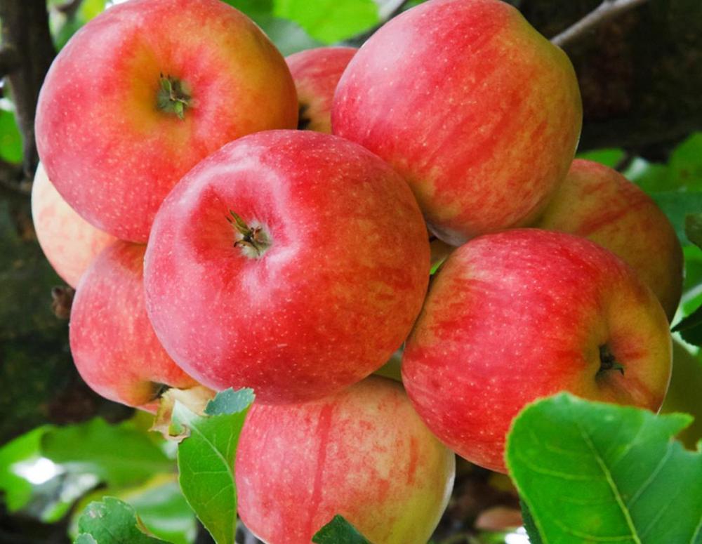 В области начат сбор яблок, больше всего их урожайность в Жердевском районе
