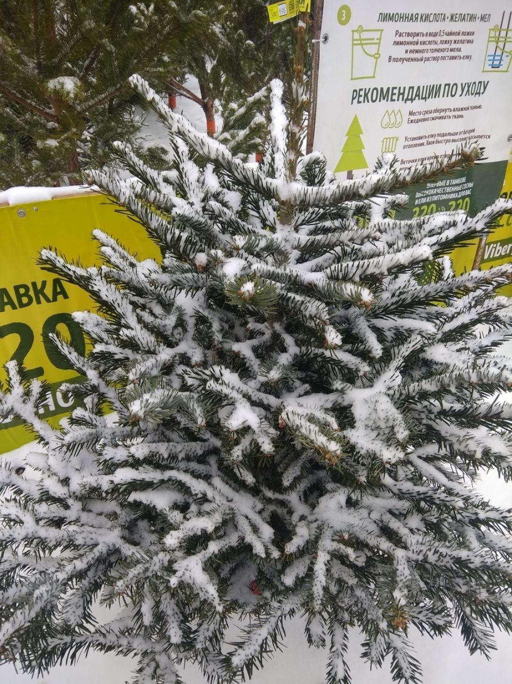Хвоя или пластик? Тамбовчане расставили приоритеты в выборе новогодних деревьев