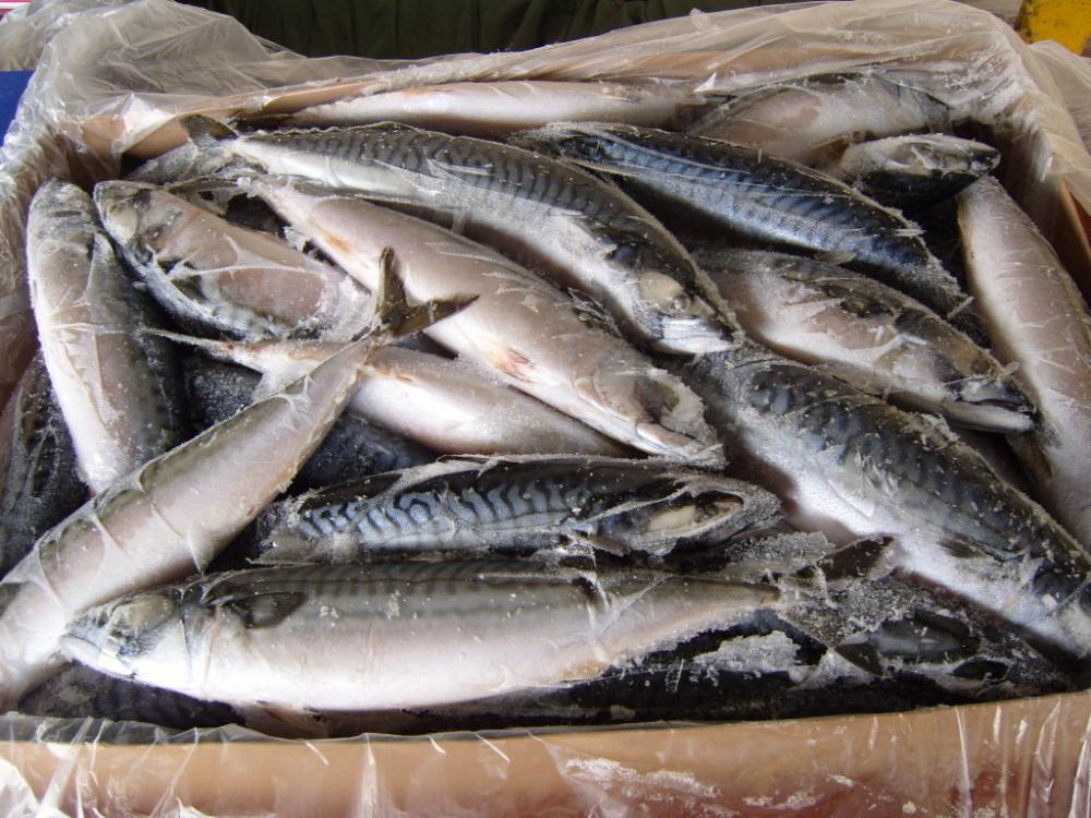 Косяк скумбрии в три тонны «уплыл» от пензенского бизнесмена в Тамбов