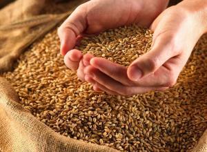 Качество пшеницы, убранной с полей региона в этом году, хуже, чем в предыдущем