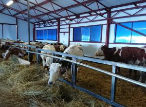 «А много ль корова дает молока?» В Уваровском районе открылась молочная ферма