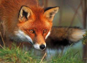 Для лис в тамбовских лесах разложили 350 тысяч доз лекарства от бешенства