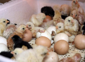 В Токаревском районе открыли инкубатор на 100 миллионов штук яиц в год