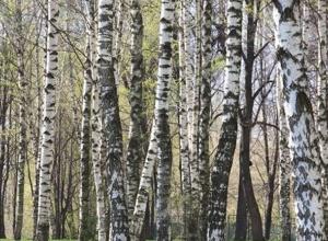 120 берез и 15 сосен пали от топора лесоруба «вне закона»