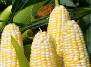 Решили, что пора уже собирать кукурузу в Тамбовской области
