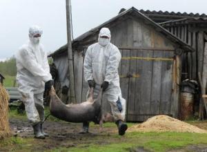 Африканская чума свиней добралась до Тамбовской области