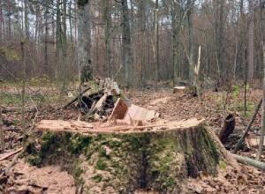 Тридцать столетних дубов незаконно вырубили в Сампурском районе
