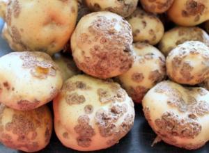 Рак картофеля диагностировали в Тамбовской области