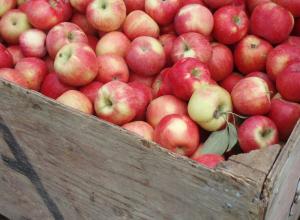 Любовь к яблокам или легкой наживе «сгубила» парочку мичуринцев
