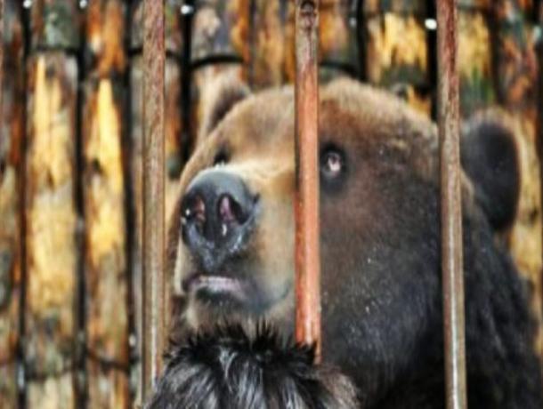 В спор о судьбе тамбовского медведя для притравки включились любители охоты