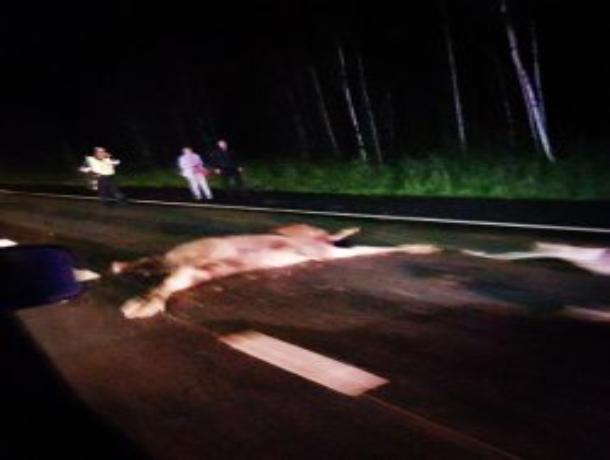 На Рассказовском шоссе произошло ДТП с животным