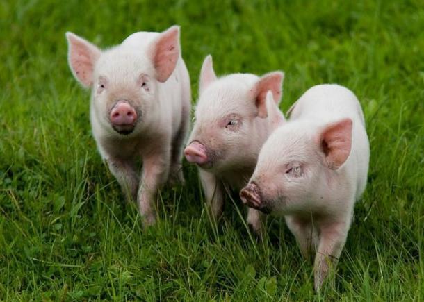 Отходы свиноводства на Тамбовщине теперь перерабатывают с помощью микробных биотехнологий