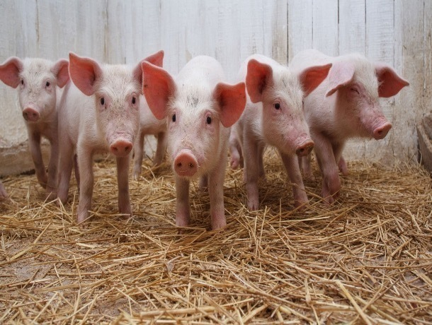 Производство мяса свинины вТамбовской области возросло на10%