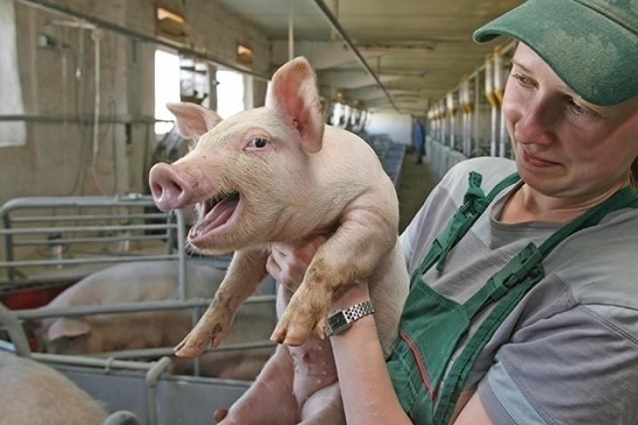 В Тамбовской области решено построить три современных свинокомплекса