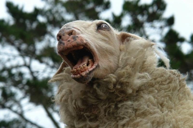 Бешеная овца замечена в Пичаевском районе
