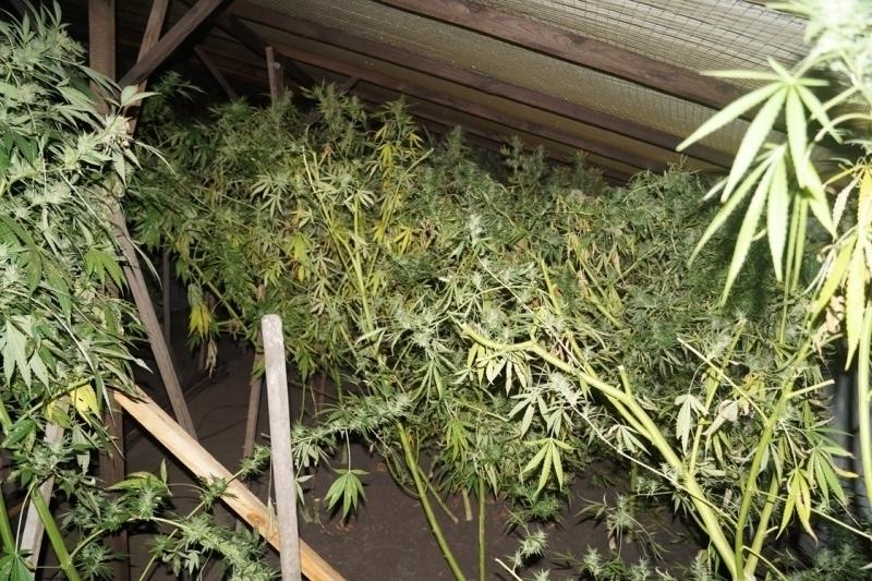 Моршанский «аграрий» выращивал марихуану в промышленных масштабах