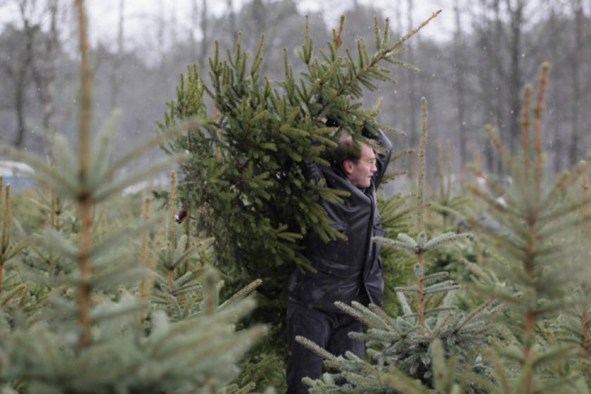 К подготовке праздников в новогодней столице России подключились и лесоводы области