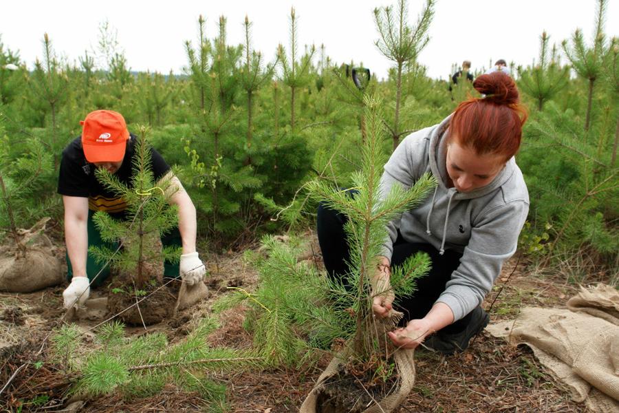 В Горельском лесхозе высадили 6 тысяч молодых сосен