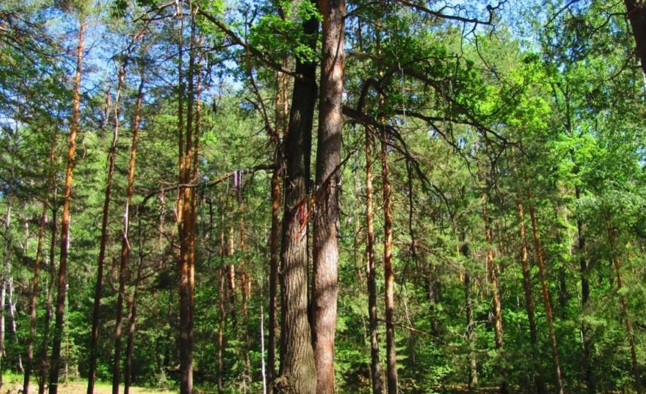 Как чувствуют себя деревья-старожилы?