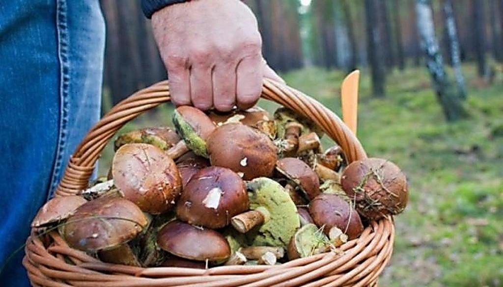 10 человек в области отравились свинухами, вешенками и рыжиками